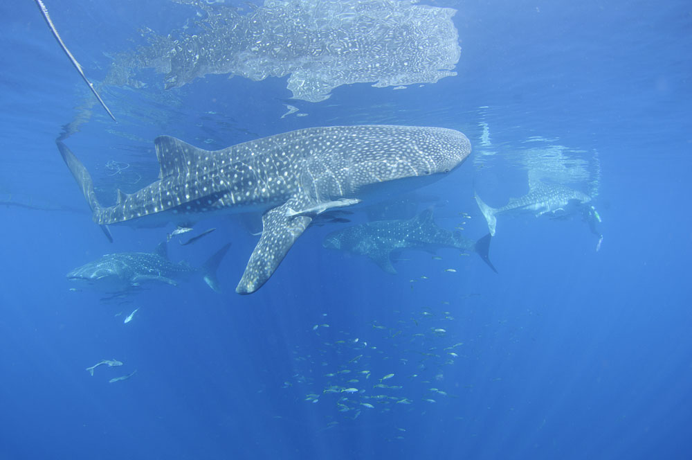 Multiple whalesharks swim at the surface, Rhincodon typus, Cenderawasih Bay, West Papua, Indonesia, Pacific Ocean
