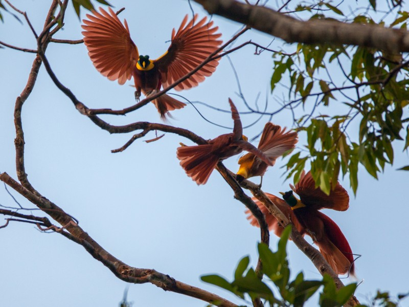 Red Birds of Paradise West Papua