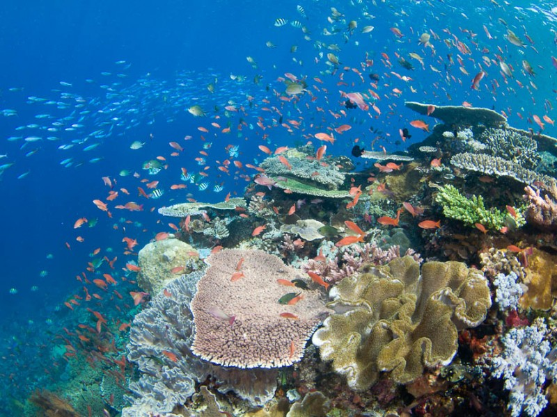 Several species of small schooling fish such as damselfish, fusiliers, and anthias feed on plankton in the water column above hard corals, Porites sp., and Acropora sp., Komodo National Park, Nusa Tenggara, Indonesia, Pacific Ocean