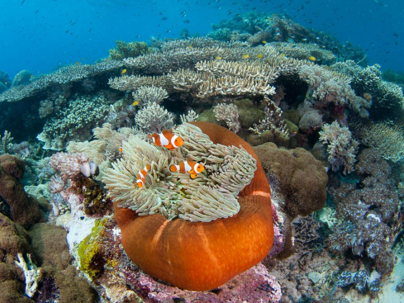 A magnificent anemone, Heteractis magnifica, in a shallow hard coral garden featuring several species of hard coral including finger and plate corals such as Porites sp., and Acropora sp., Komodo National Park, Nusa Tenggara, Indonesia, Pacific Ocean Komodo National Park, Nusa Tenggara, Indonesia, Pacific Ocean