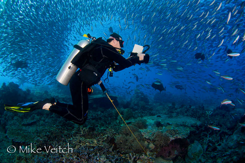 Diver Surrounded by Schooling Fusiliers and Hunting Trevally, Hard to Find Rock or Castle Rock, Komodo National Park, Nusa Tenggara, Indonesia, Pacific Ocean (No MR)