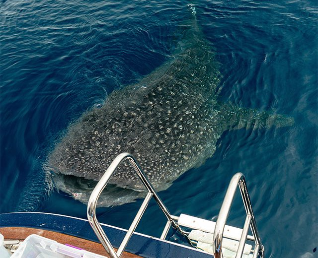 Whaleshark from the back deck